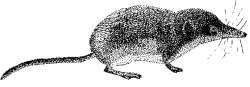 2.M.6. Buena Vista Lake Shrew (Sorex ornatus relictus)